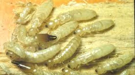 Termites Buloke Shire Council